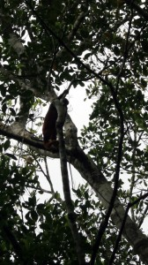 Looking up at the howler monkeys above us from the canoe. Copyright CareerBreakSecrets.com