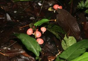 Wine cup fungi in the Amazon. Copyright CareerBreakSecrets.com