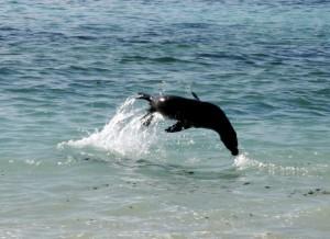 Sea lion playing on Española Island in the Galapagos. Copyright CareerbreakSecrets.com