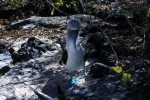 Blue-footed booby on Española Island, the Galapagos. Copyright CareerBreakSecrets.com
