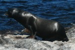 Dominant male sea lion on South Plaza Island. Copyright CareerBreakSecrets.com