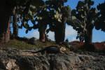 Lizard on South Plaza Island. Copyright CareerBreakSecrets.com