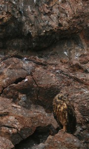 Owl on Genovesa Island. Copyright CareerBreakSecrets.com
