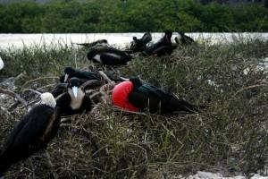 Male frigate birds on Genovesa Islands. Copyright CareerBreakSecrets.com